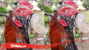 Brewok Pada Ayam Bangkok
