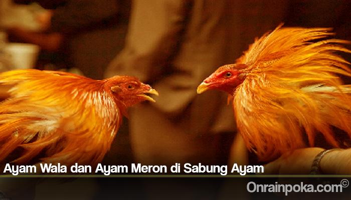 Ayam Wala dan Ayam Meron di Sabung Ayam
