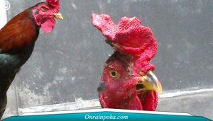 3 Sistem Memilah Ayam Bangkok Yang Tangguh