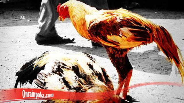Cara Kembalikan Mental Ayam