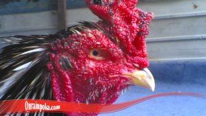 Cara Rawat Mata Ayam Luka