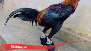 Melatih Kaki Ayam Bangkok